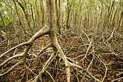 Mangrove Trees Photos - Interior Views Of Tall Mangrove Forest by Tim Laman