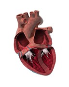 Heart Healthy Photo Posters - Internal Heart Anatomy, Artwork Poster by Claus Lunau