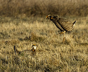 Wisconsin Prairie Chickens Prints - Intimidating Jump Print by Thomas Young