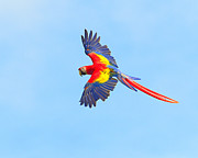 Scarlet Macaw Prints - Into The Blue Print by Tony Beck