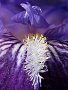 Irs Photos - Into the Iris by Darla Brock
