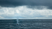Whale Photo Originals - Into the Pacific - Fin Whale by Adam Pender