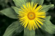 Yellow Leaves Prints - Inula grandiflora Print by American School