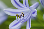 Blue Flowers Photos - Inviting Friends by Rich Franco
