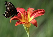 Blooms  Butterflies Photo Posters - Inviting Poster by Sabrina L Ryan