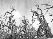 Cornfield Drawings Framed Prints - Iowa Cornfield Framed Print by Craig Carlson