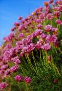 Wildflower Photography Prints - Ireland Close-up Of Seapink Wildflowers Print by Gareth McCormack