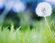 Close Focus Nature Scene Photo Posters - Ireland, County Westmeath, Dandelion In Meadow Poster by Jamie Grill