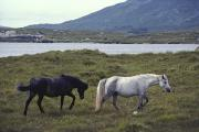 Grazing Horse Posters - Ireland, Dingle,two Horse Grazing Poster by Keenpress