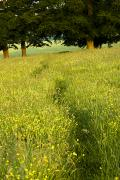 Rural Landscapes Photos - Ireland Trail Through Buttercup Meadow by Peter McCabe