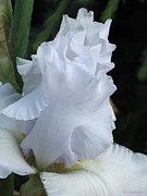 Kerri Ligatich Prints - Iris - Shades of White Print by Kerri Ligatich