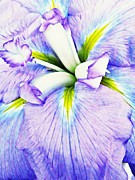 Violet Blue Art - Iris 11 by Sarah Loft