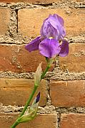 Steve Augustin Metal Prints - Iris and The Wall Metal Print by Steve Augustin