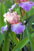 Fine Photography Art Photo Originals - Iris Beauty by James Steele