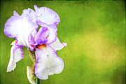 Beautiful Image Posters - Iris Poster by Darren Fisher