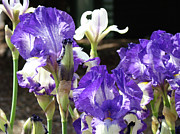 Purple Irises Prints - IRIS FLOWERS Floral Art Prints Purple IRISES Baslee Troutman Print by Baslee Troutman Fine Art Prints Collections