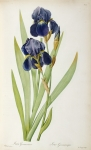 Engraving Metal Prints - Iris Germanica Metal Print by Pierre Joseph Redoute