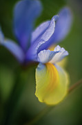 Iris Framed Prints - Iris Grace Framed Print by Mike Reid
