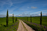 Tuscan Road Prints - Iris Grow Amid New Cypress Growth Print by Kenneth Ginn