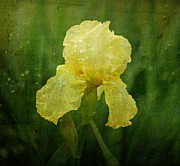 Indiana Flowers Prints - Iris in the Rain Print by Sandy Keeton