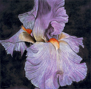 Realism Mixed Media Posters - Iris Poster by Lawrence Supino