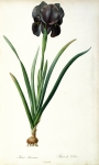 Redoute Paintings - Iris Luxiana by Pierre Joseph  Redoute