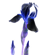 Computer Generated Flower Prints - Iris manipulation  Print by Kim Galluzzo-Wozniak