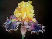 Colored Background Drawings - Iris Mego by Marita Lipke