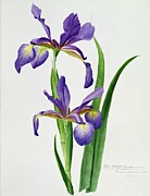 Purple Flowers Paintings - Iris monspur by Anonymous