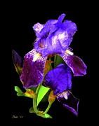 Dale   Ford - Iris on Black