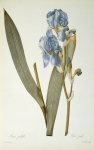 Coloured Flowers Prints - Iris Pallida Print by Pierre Joseph Redoute