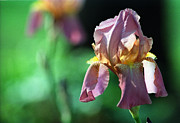 Deep Pink Prints - Iris Print by Wanda Brandon