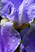 Refreshing Posters - Iris with Raindrops Poster by Thomas R Fletcher