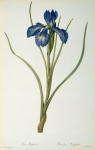 21st Paintings - Iris Xyphioides by Pierre Joseph Redoute