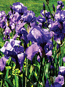 Iris Posters - Irises Princess Royal Smith Poster by Susan Savad