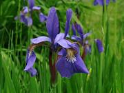 Irises Print by Randi Shenkman