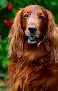 Dog Amateur Metal Prints - Irish Setter I Metal Print by Jenny Rainbow
