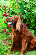 Dog Amateur Metal Prints - Irish Setter II Metal Print by Jenny Rainbow