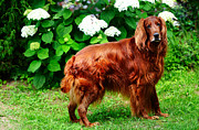 Dog Amateur Metal Prints - Irish Setter III Metal Print by Jenny Rainbow