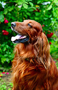 Dog Amateur Metal Prints - Irish Setter Metal Print by Jenny Rainbow