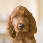 Irish Setter Posters - Irish Setter Puppy, Close-up Poster by GK Hart/Vikki Hart