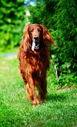 Dog Amateur Metal Prints - Irish Setter V Metal Print by Jenny Rainbow