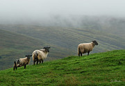 Ovine Framed Prints - Irish Sheep in the Mist Framed Print by Joe Bonita