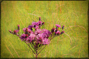 Vernonia Posters - Ironweed in Autumn Poster by Judi Bagwell
