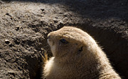 Prairie Dog Prints - Is The Coast Clear Print by Trish Tritz