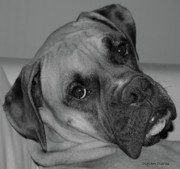 Boxer Dog Digital Art Metal Prints - Is This Necessary Metal Print by DigiArt Diaries by Vicky Browning