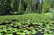 Water Lillies Prints - Isa Lake Print by Greg Norrell