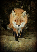 Photoart BySaMi - Island beach fox