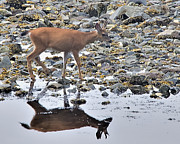 Greg Rushton Photography - Island Deer