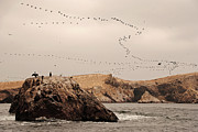 Flock Of Birds Art - Islas Ballestas - Peru by Andrea Cavallini